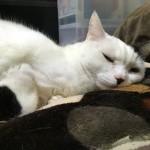白玉さん専用枕。