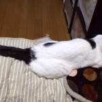 猫の眼瞼炎治療。