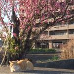 西日と猫と梅の花。