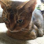 猫の慢性腎不全(まんせいじんふぜん)  発見から最期まで。